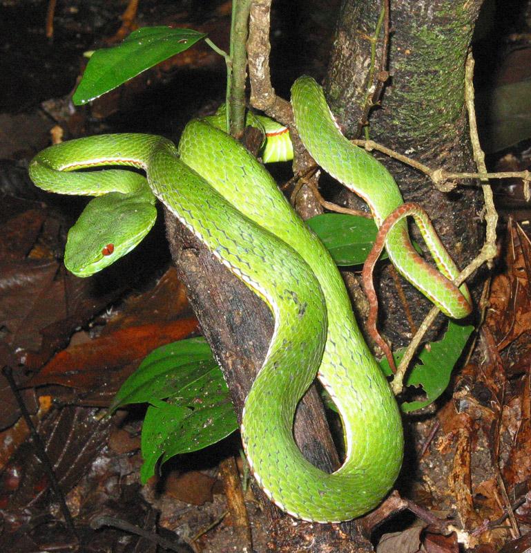 热带雨林中的竹叶青蛇